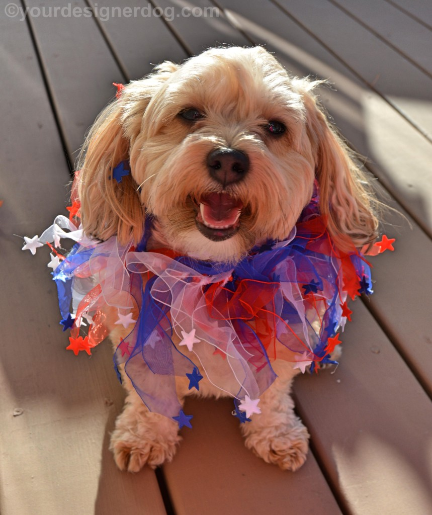 dogs, designer dogs, yorkipoo, yorkie poo, veterans, patriotic