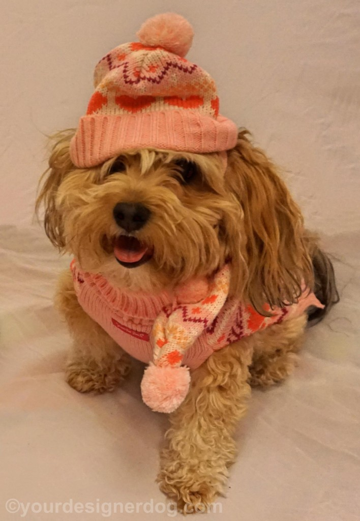 dogs, designer dogs, yorkipoo, yorkie poo, tongue out, winter hat, scarf