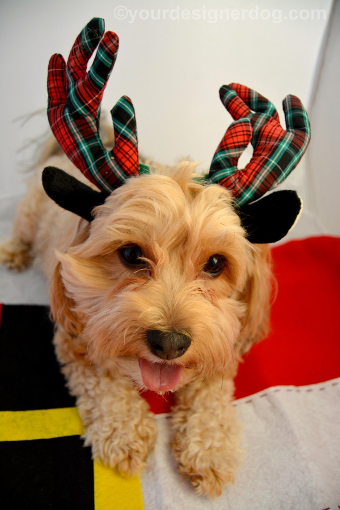 dogs, designer dogs, yorkipoo, yorkie poo, reindeer, tongue out, antlers, christmas