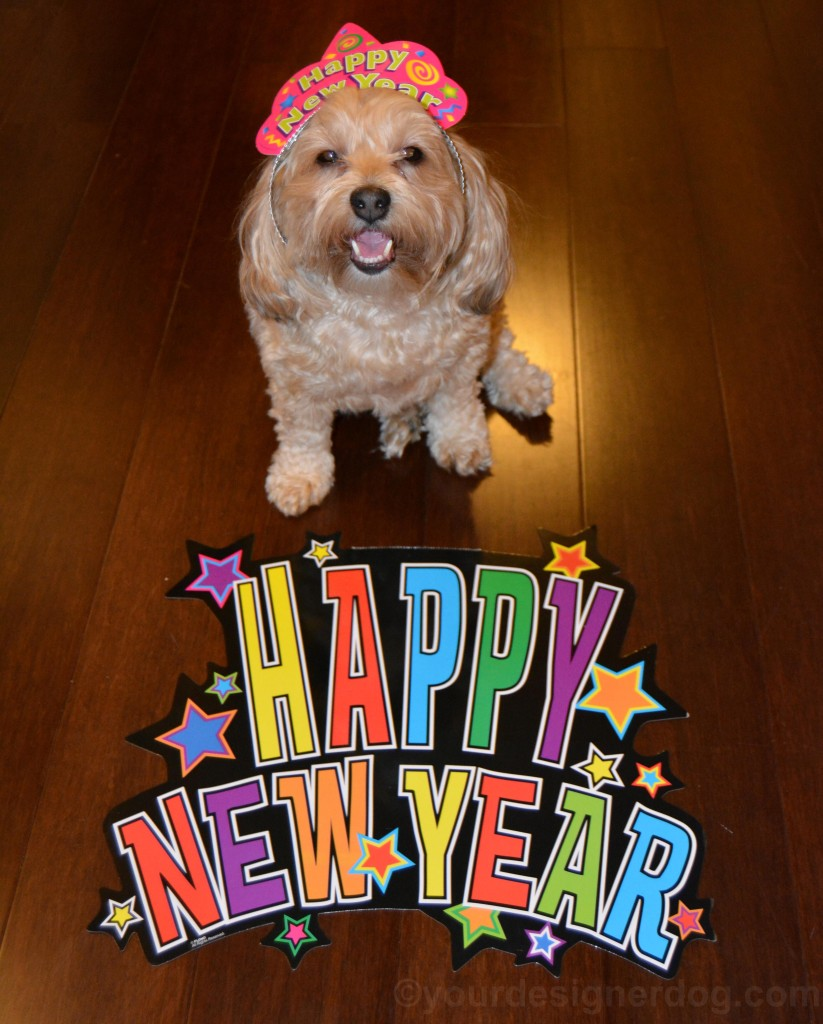 dogs, designer dogs, yorkipoo, yorkie poo, new year, new year's eve