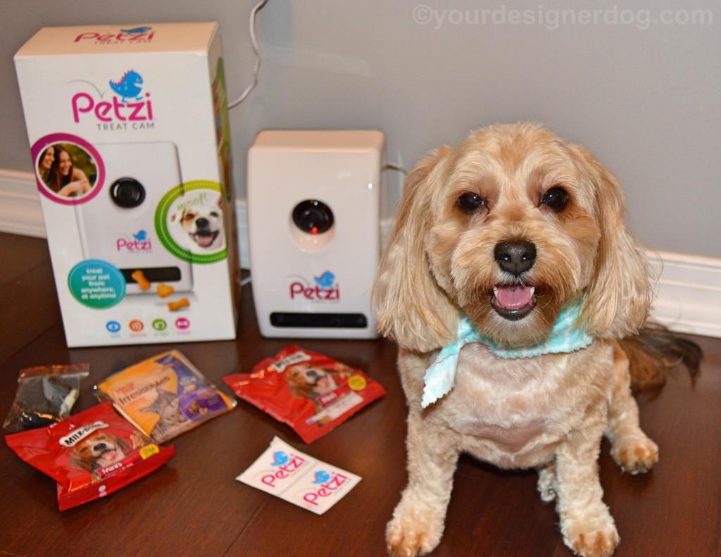 dogs, designer dogs, yorkipoo, yorkie poo, baby monitor, petzi treat cam