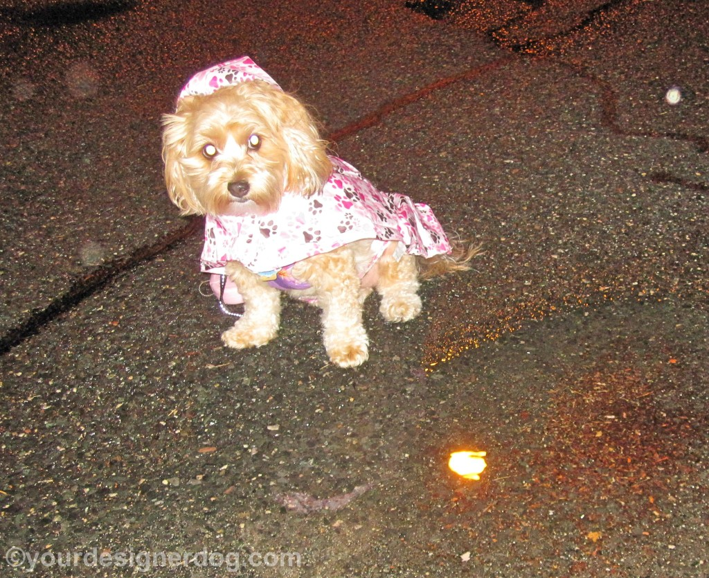 dogs, designer dogs, yorkipoo, yorkie poo, rain, weather, umbrella, raincoat