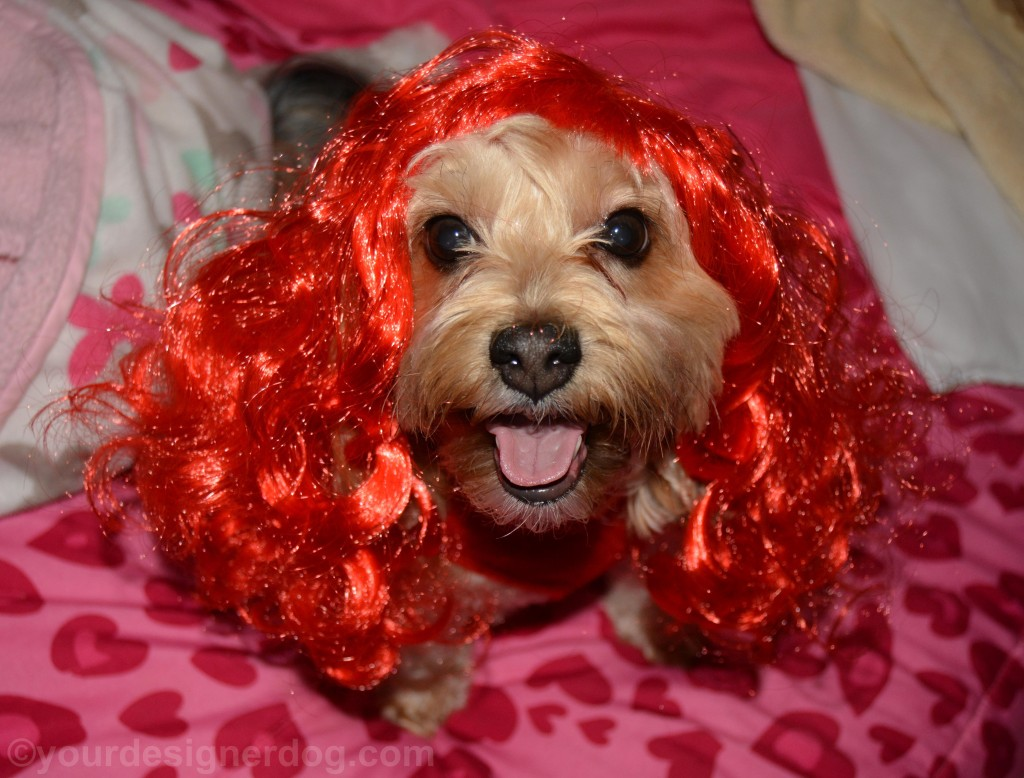 dogs, designer dogs, yorkipoo, yorkie poo, wig, red head, tongue out