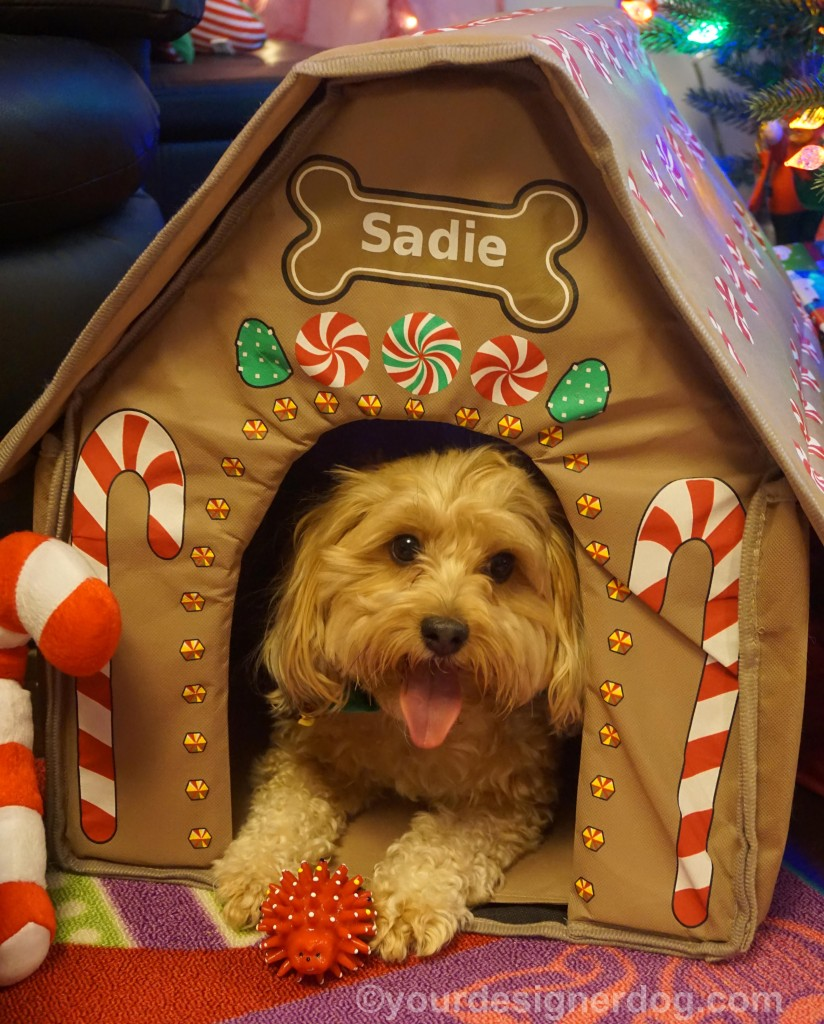 dogs, designer dogs, yorkipoo, yorkie poo, tongue out, christmas, gingerbread house