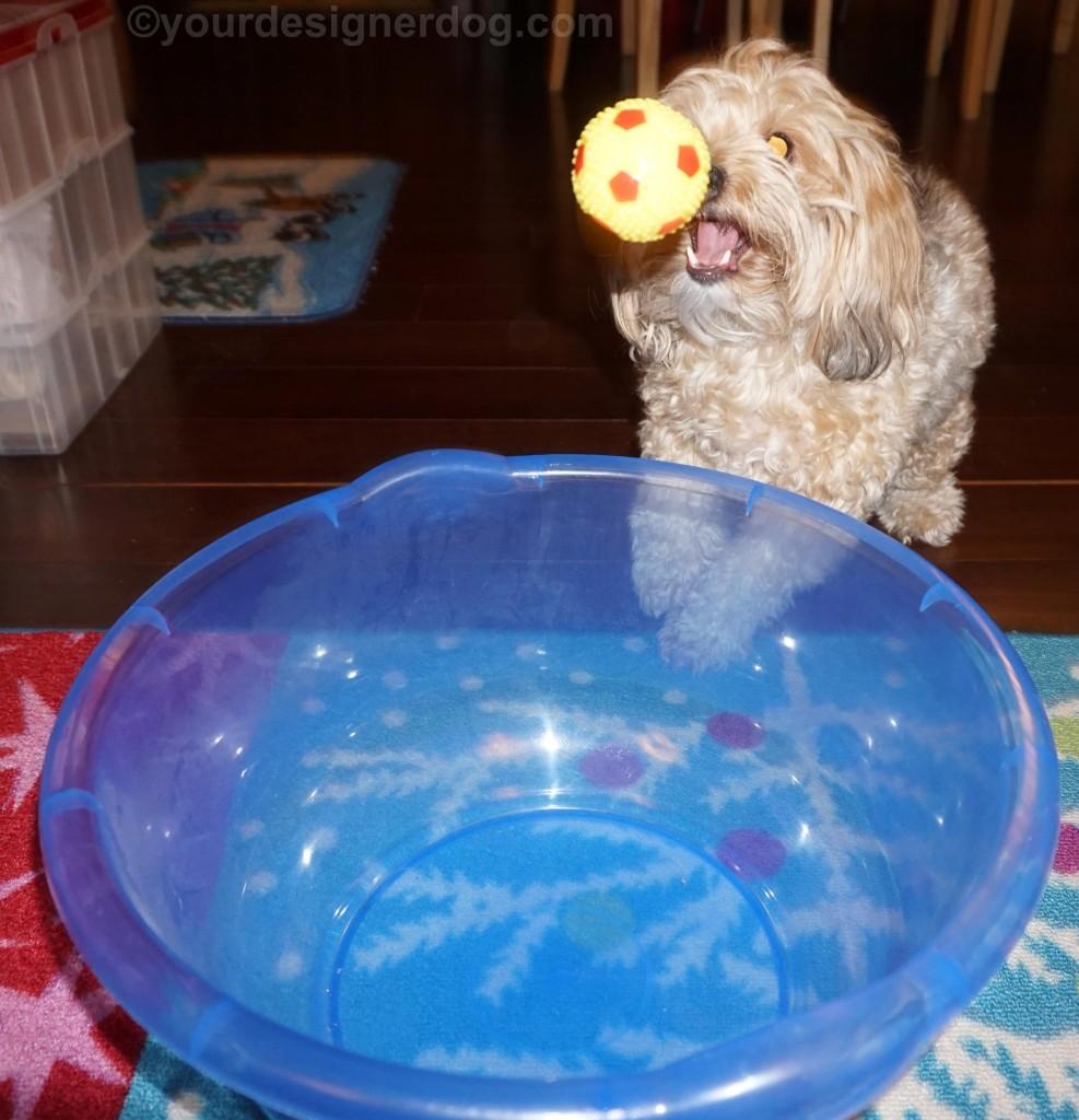 dogs, designer dogs, yorkipoo, yorkie poo, bowl ball, catch