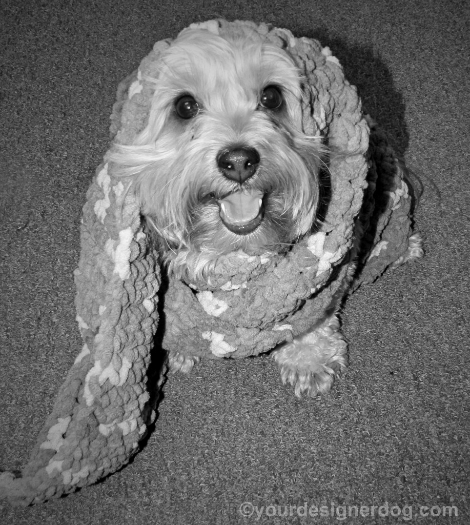 dogs, designer dogs, yorkipoo, yorkie poo, scarf, black and white photography