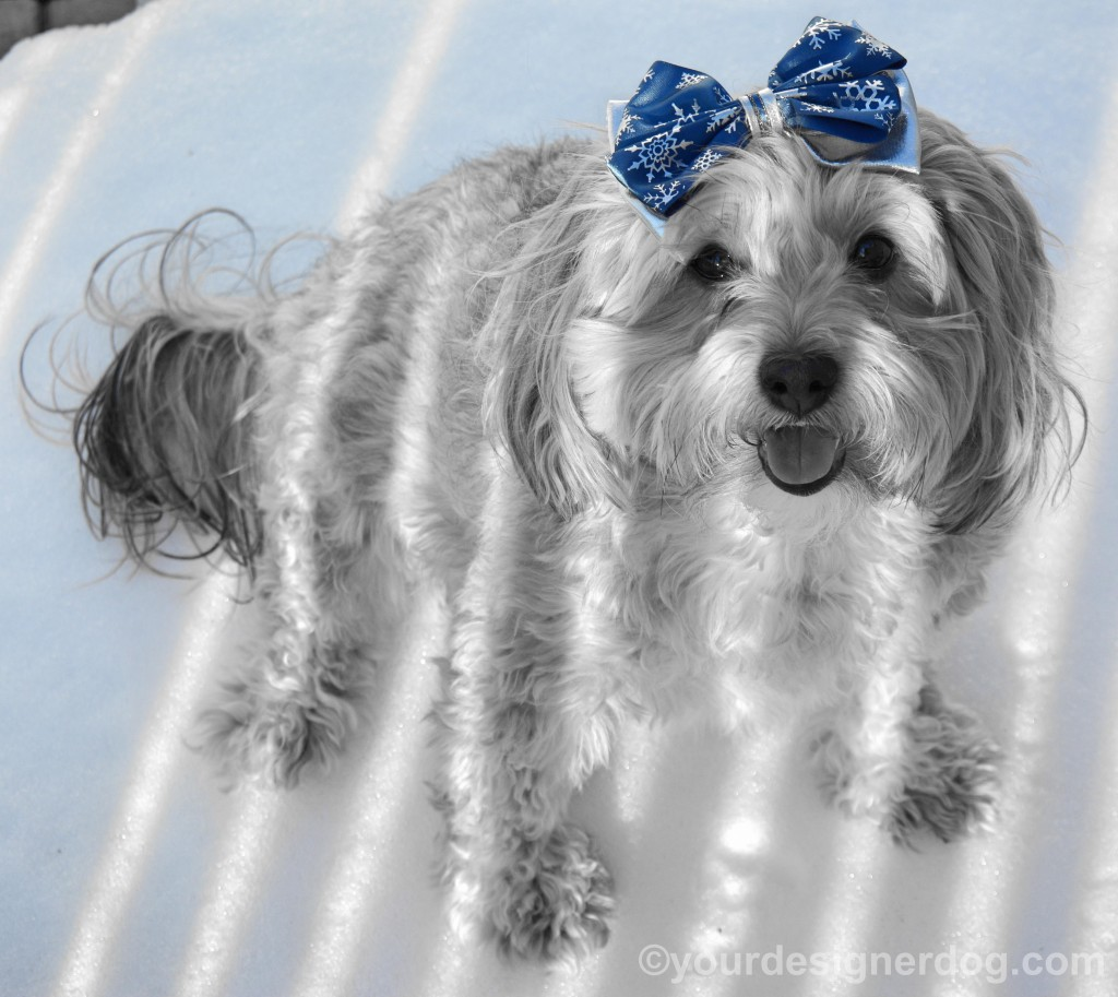 dogs, designer dogs, yorkipoo, yorkie poo, snow, winter, hair bow, black and white photography