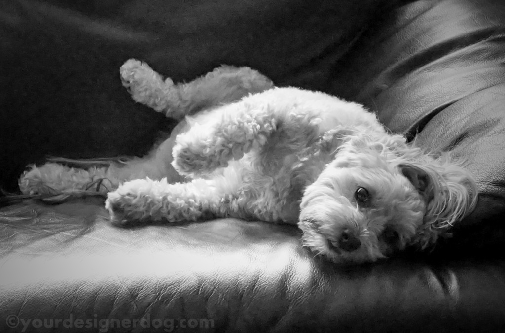 dogs, designer dogs, yorkipoo, yorkie poo, sleepy, lazy, black and white photgraphy