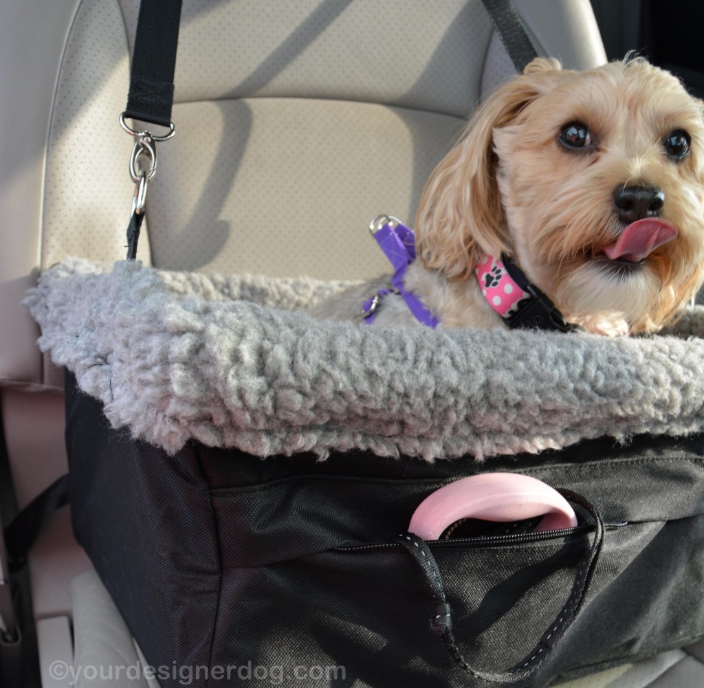 dogs, designer dogs, yorkipoo, yorkie poo, blooper, car seat, tongue out