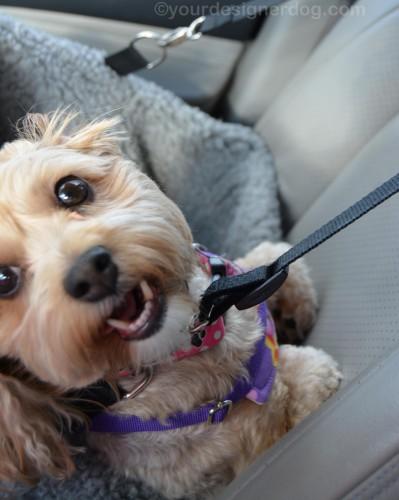 dogs, designer dogs, yorkipoo, yorkie poo, blooper, car seat, dog smiling