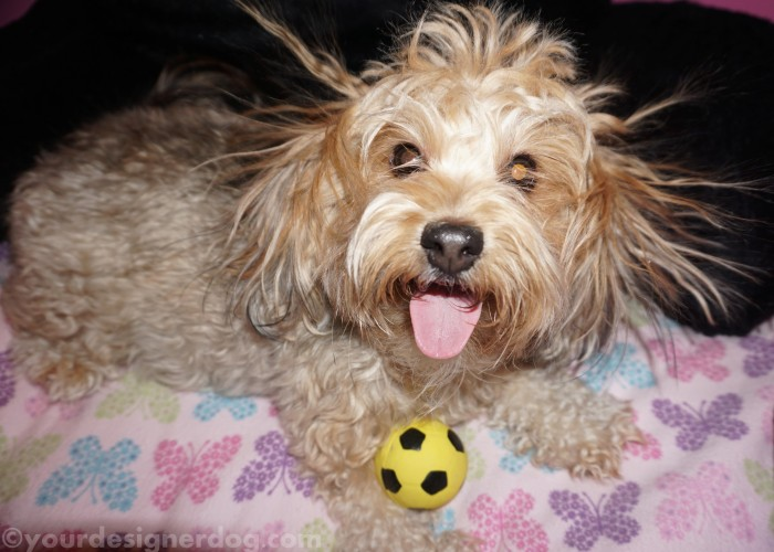 dogs, designer dogs, yorkipoo, yorkie poo, bad hair day, dog smiling, tongue out