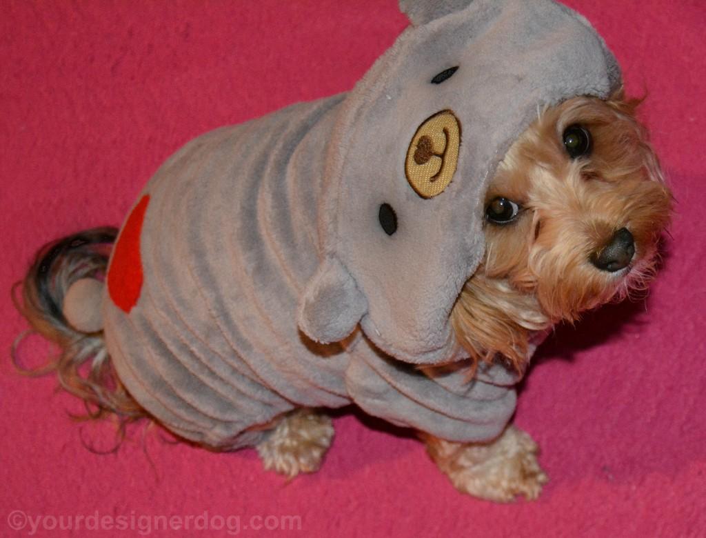 dogs, designer dogs, yorkipoo, yorkie poo, dog hoodie, grey, gray, teddy bear