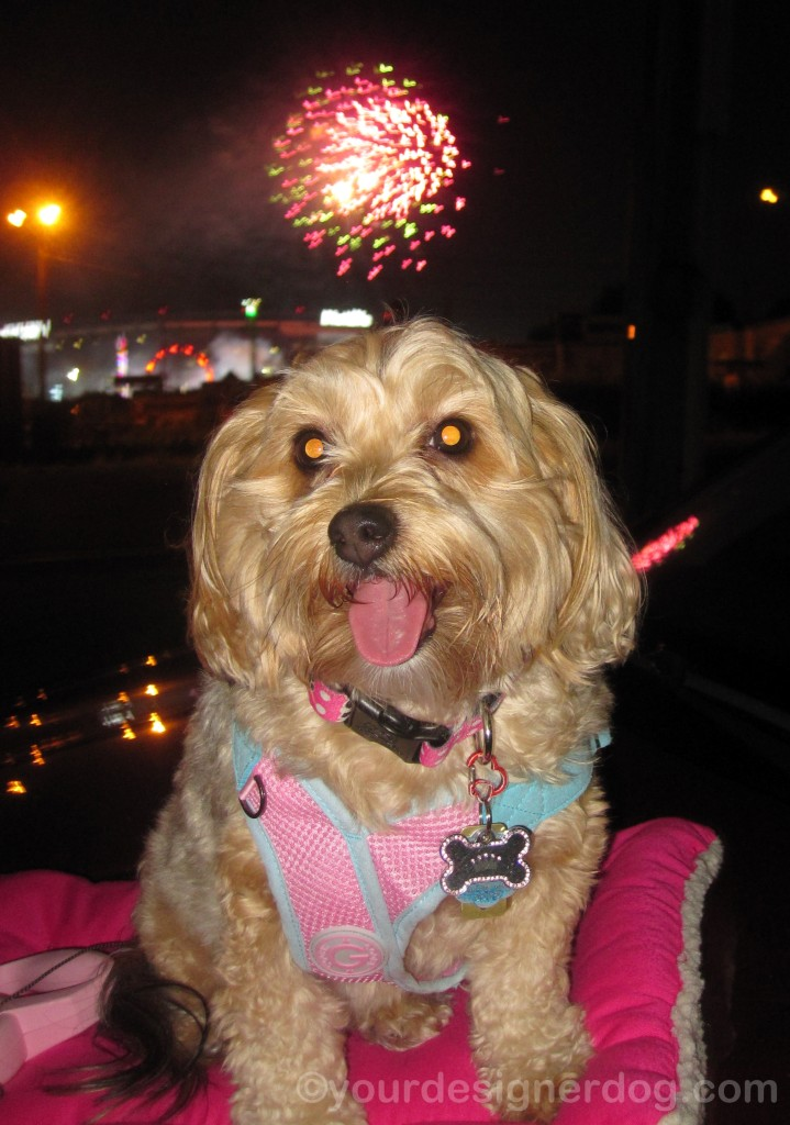 dogs, designer dogs, yorkipoo, yorkie poo, fireworks, tongue out, fourth of july