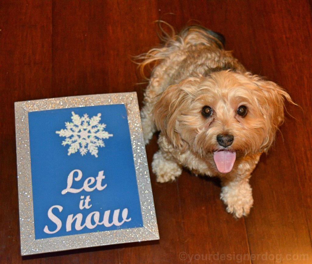 dogs, designer dogs, yorkipoo, yorkie poo, snow, tongue out