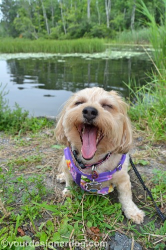 dogs, designer dogs, yorkipoo, yorkie poo, lily pond, blooper, tongue out