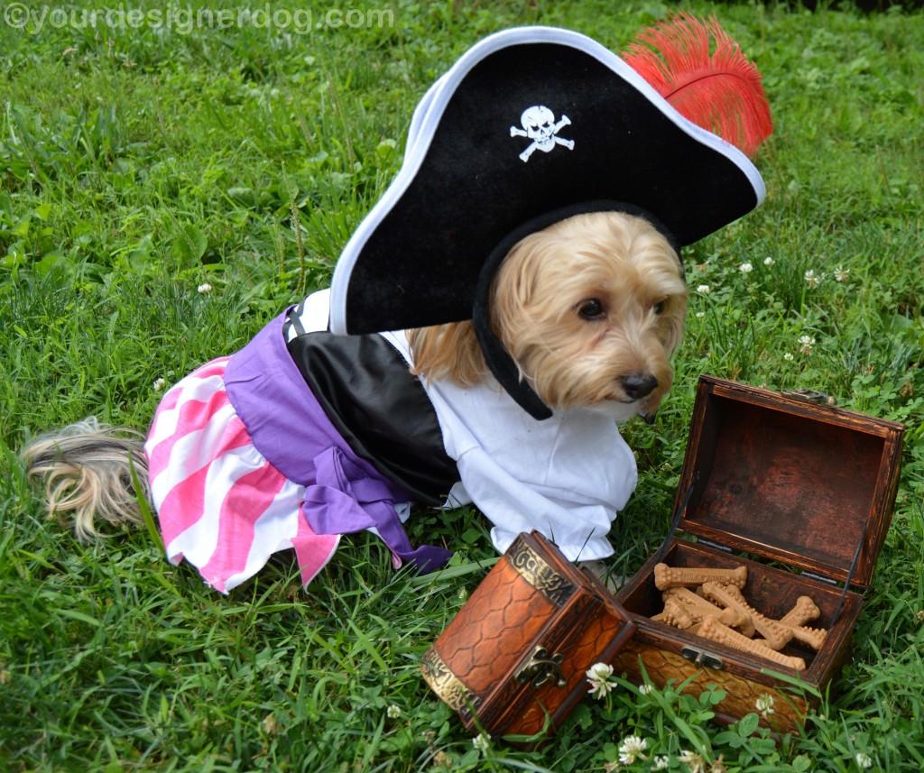 dogs, designer dogs, yorkipoo, yorkie poo, pirate, treasure chest, booty