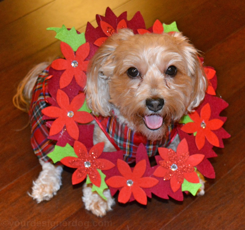 dogs. designer dogs, yorkipoo, yorkie poo, poinsettia, christmas