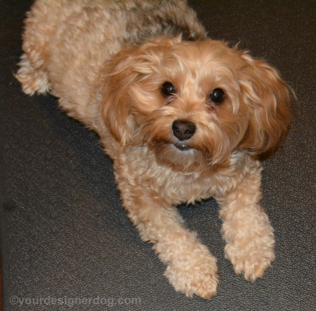 dogs, designer dogs, yorkipoo, yorkie poo, tongue out, dog smiling, blooper