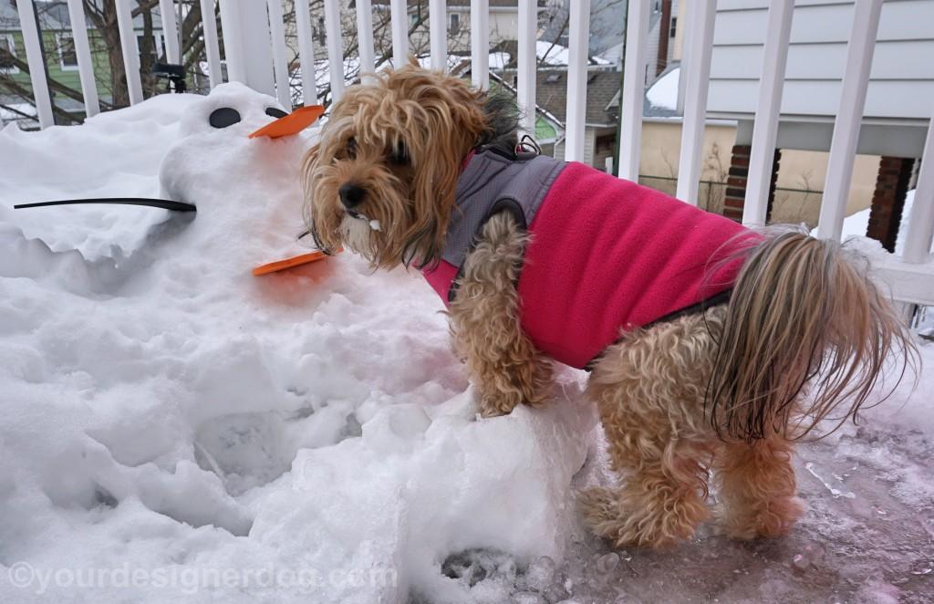 dogs, designer dogs, yorkipoo, yorkie poo, snowman, penguin, snow penguin
