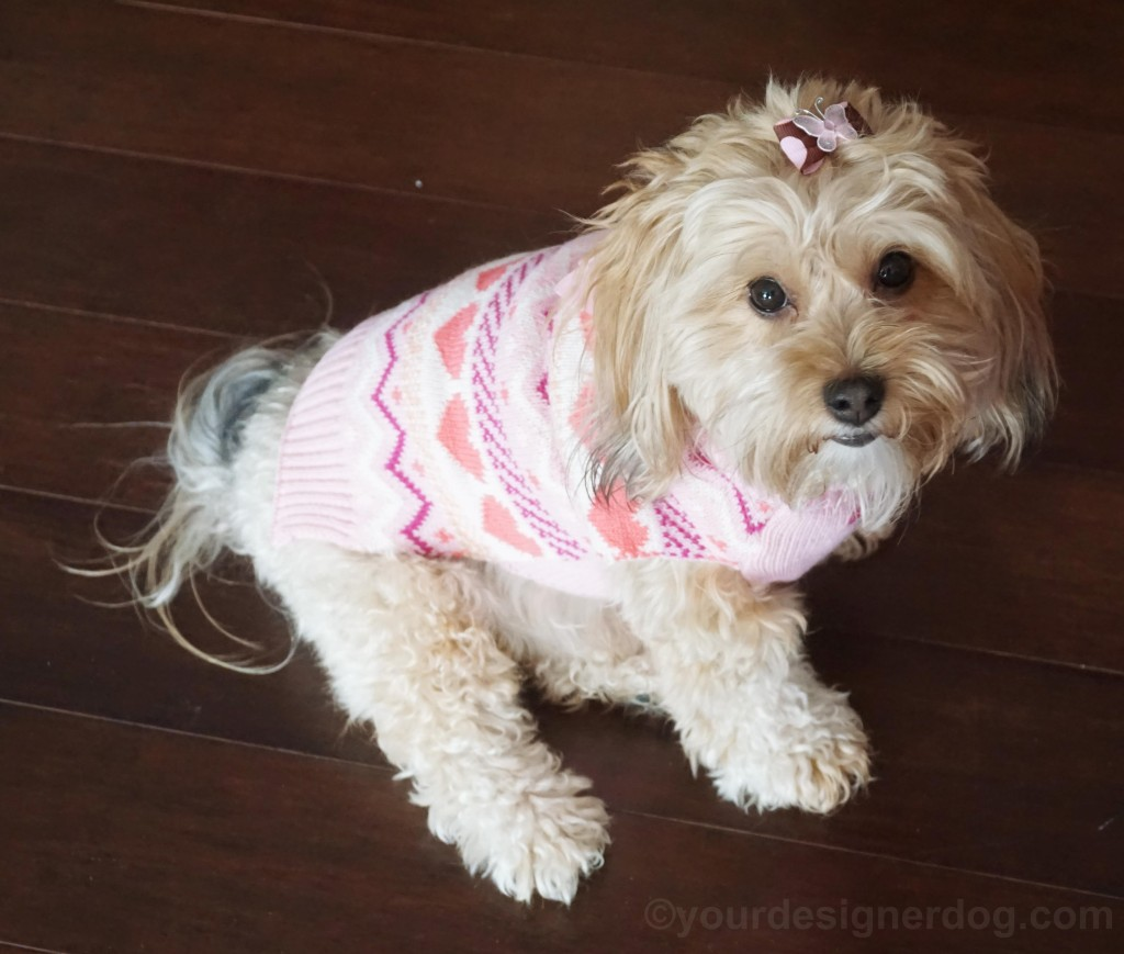 dogs, designer dogs, yorkipoo, yorkie poo, dog sweater, blooper