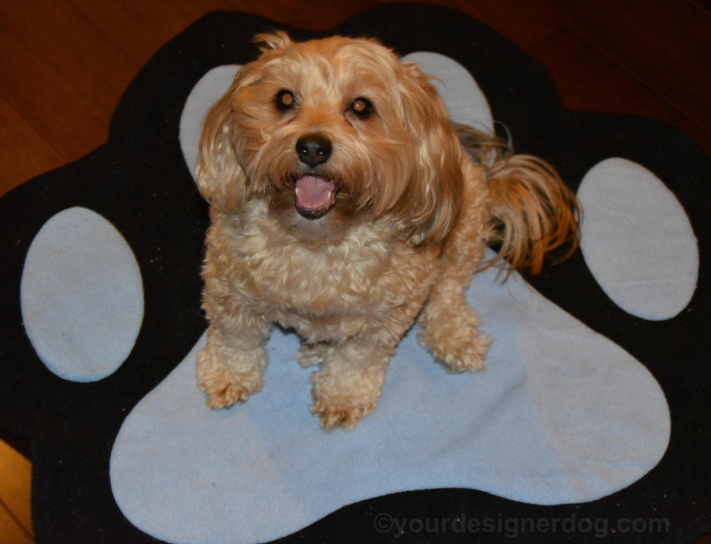 dogs, designer dogs, yorkipoo, yorkie poo, tongue out, paw print, dog smiling