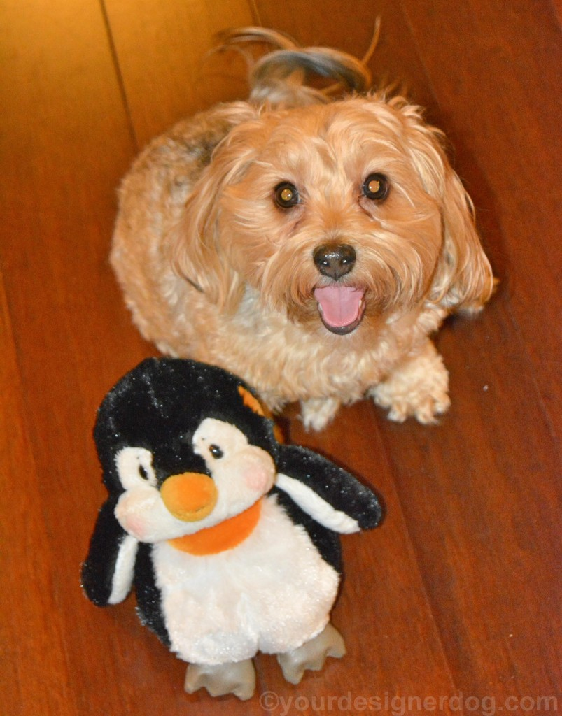 dogs, designer dogs, yorkipoo, yorkie poo, tongue out, dog smiling, penguin