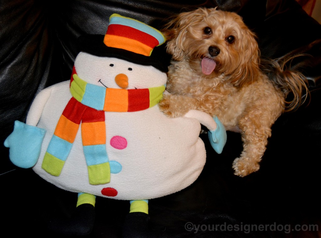 dogs, designer dogs, yorkipoo, yorkie poo, snowman, winter, tongue out