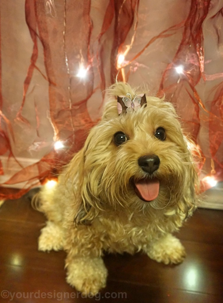 dogs, designer dogs, yorkipoo, yorkie poo, twinkle lights, tongue out