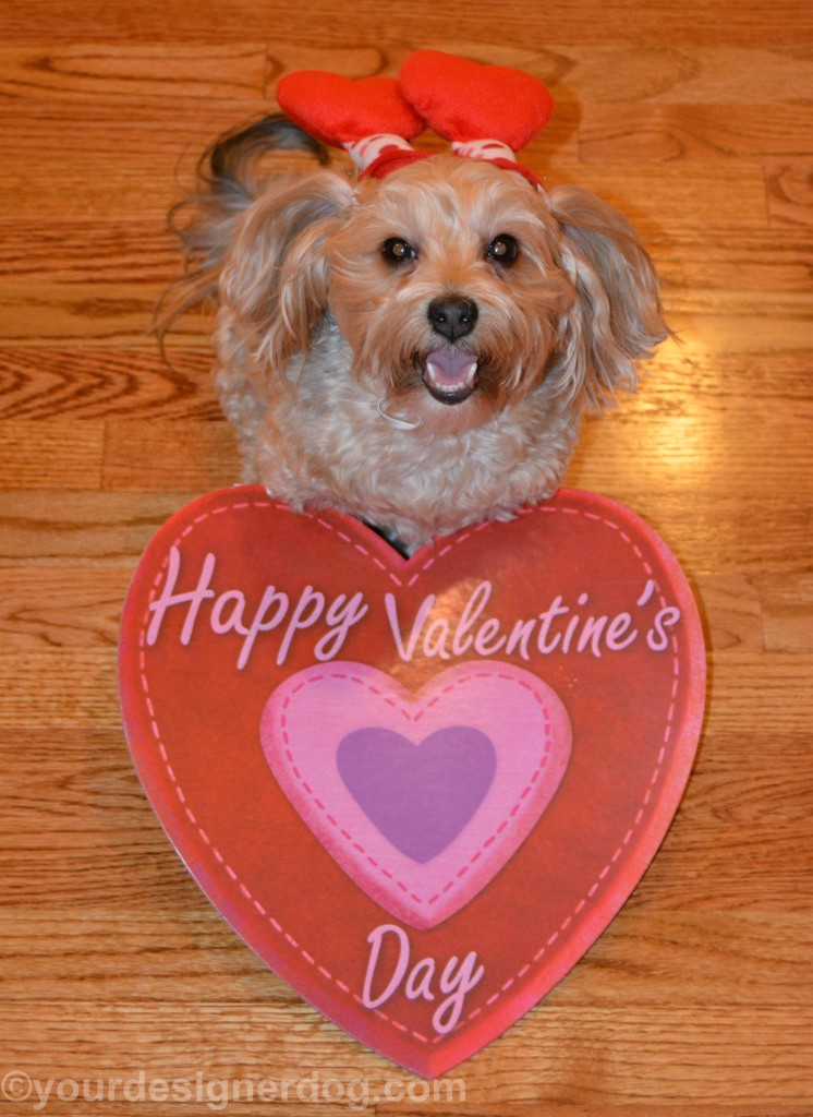 dogs, designer dogs, yorkipoo, yorkie poo, cutie pie, tongue out, dog smiling, valentine's day