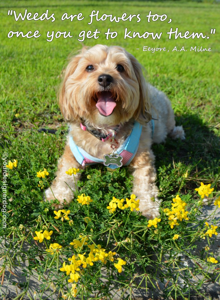 dogs, designer dogs, yorkipoo, yorkie poo, dogs with flowers, wildflowers, weeds, tongue out