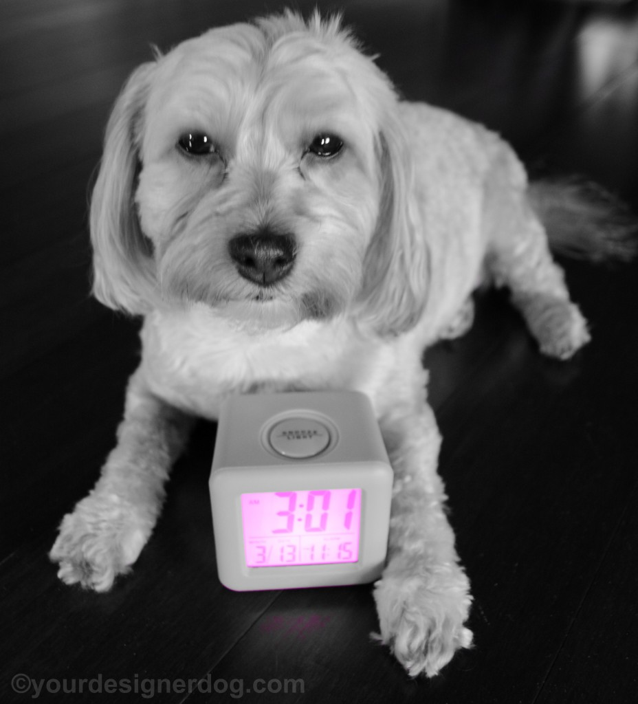 dogs, designer dogs, yorkipoo, yorkie poo, daylight savings, black and white photography