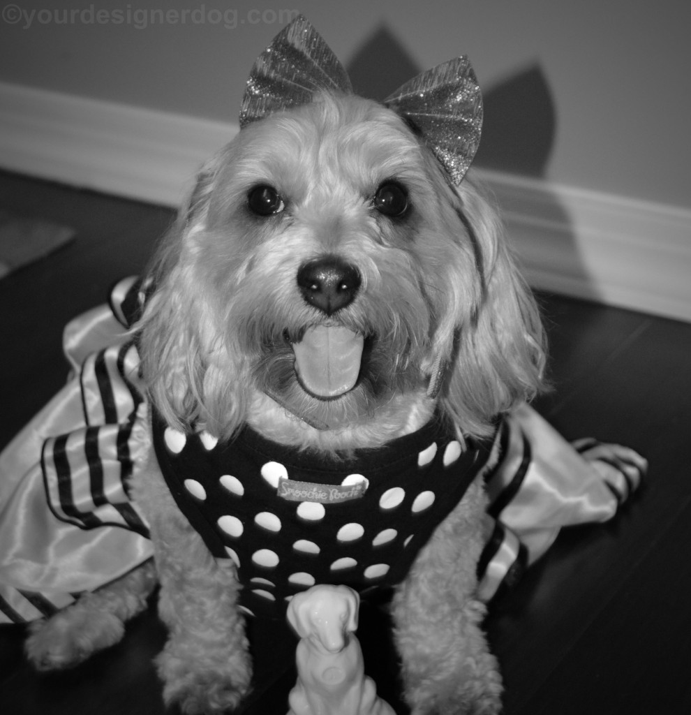 dogs, designer dogs, yorkipoo, yorkie poo, oscars, dog award, black and white photography, black and white dog dress