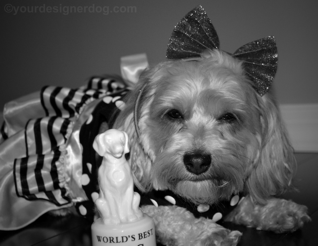 dogs, designer dogs, yorkipoo, yorkie poo, oscars, dog award, black and white photography, black and white dog dress