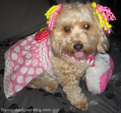 dogs, designer dogs, yorkipoo, yorkie poo, dog dress, dog hair bows, dog purse, dressed up