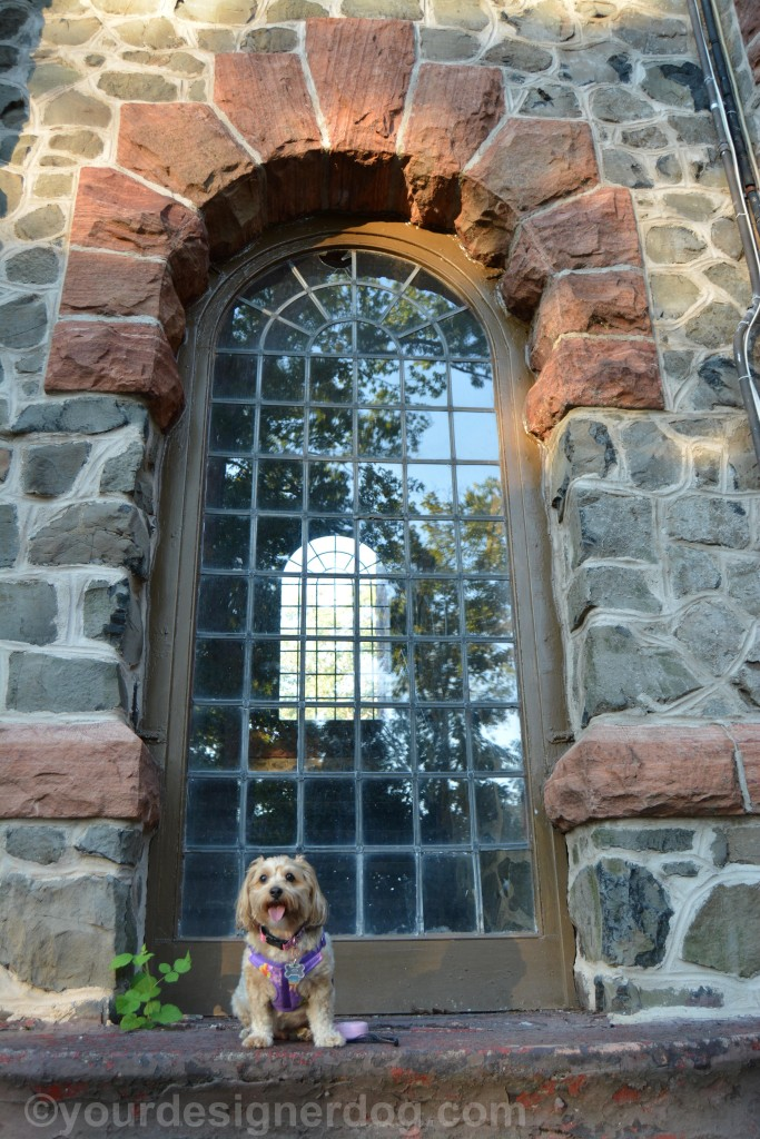dogs, designer dogs, yorkipoo, yorkie poo, window, tongue out