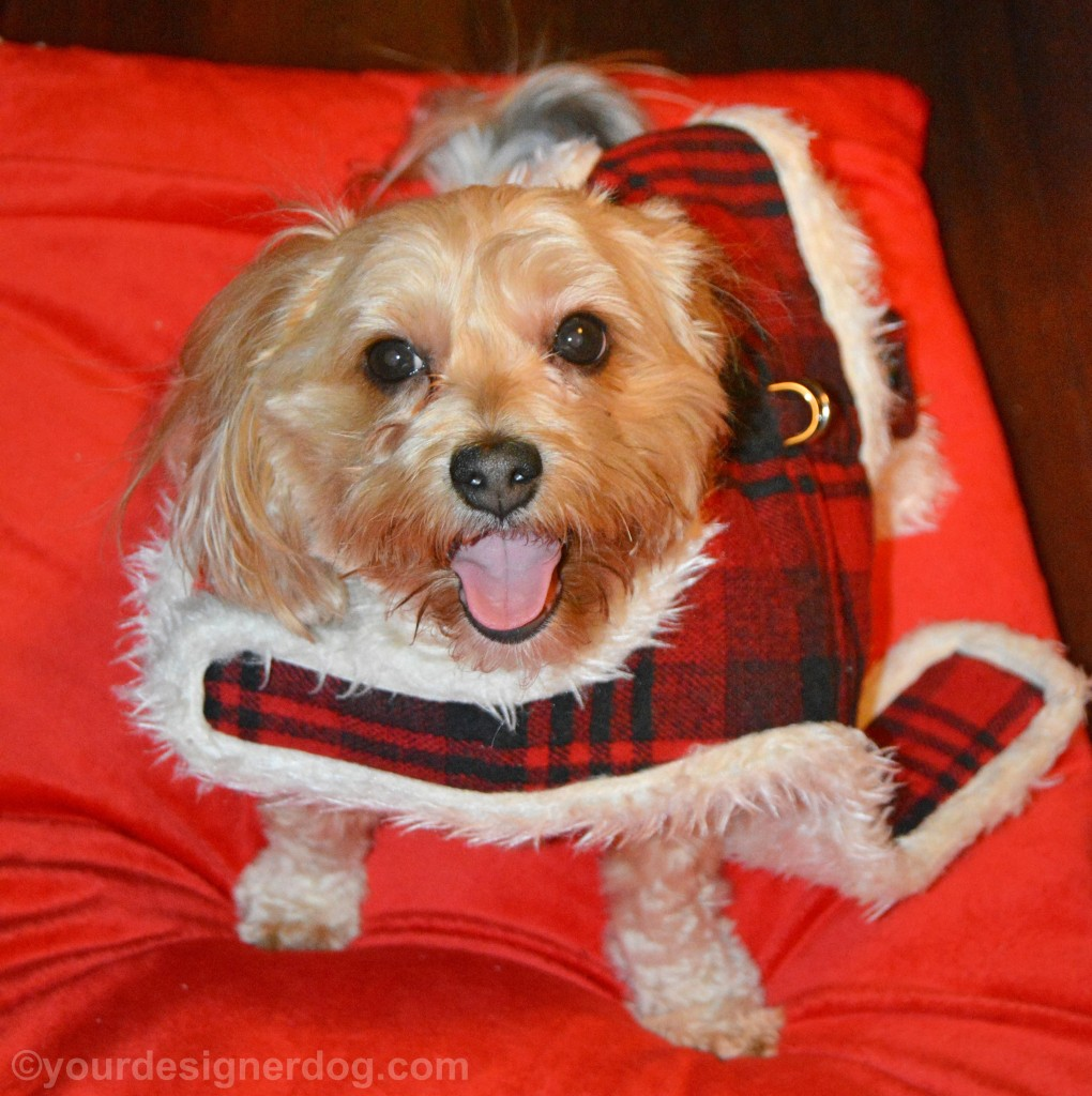 dogs, designer dogs, yorkipoo, yorkie poo, dog jacket, dog harness, get it off me game