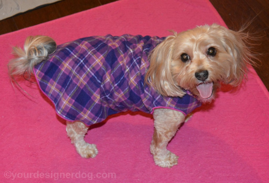 dogs, designer dogs, yorkipoo, yorkie poo, dog sweater, gold paw series, stretch fleece