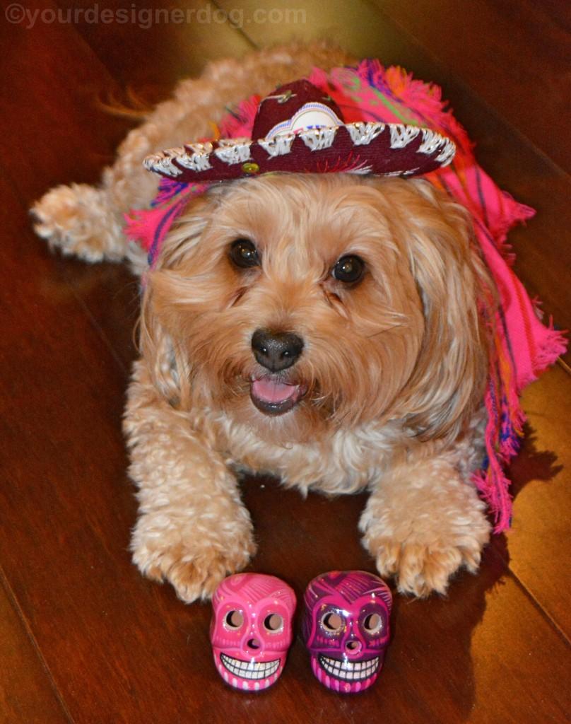 dogs, designer dogs, yorkipoo, yorkie poo, cinco de mayo, mexico, sombrero