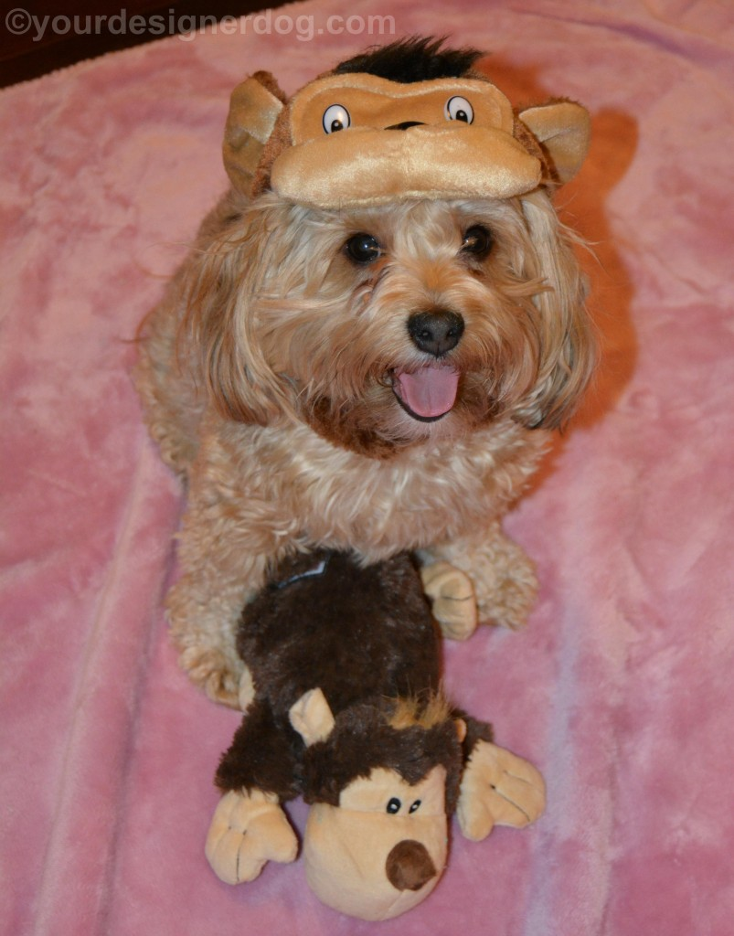 dogs, designer dogs, yorkipoo, yorkie poo, monkey, dog costume, tongue out