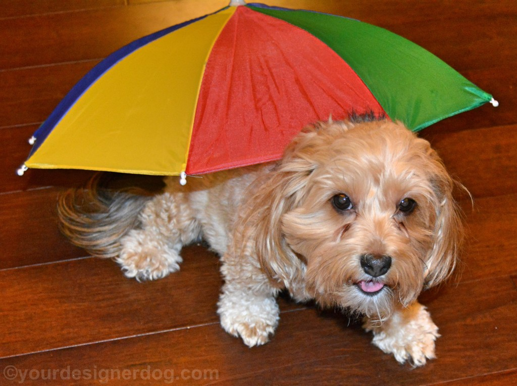 dogs, designer dogs, yorkipoo, yorkie poo, umbrella, april showers