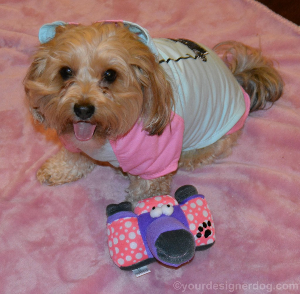 dogs, designer dogs, yorkipoo, yorkie poo, camera, dog toy, shutterbug