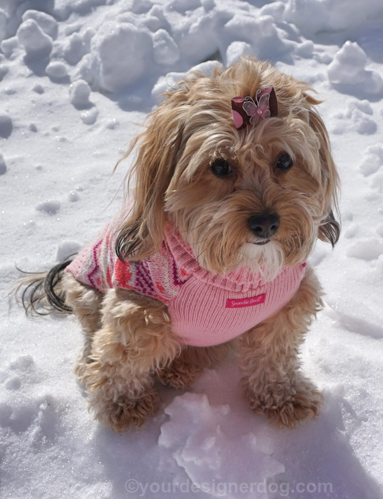 dogs, designer dogs, yorkipoo, yorkie poo, snow, dog sweater, hair bow, winter