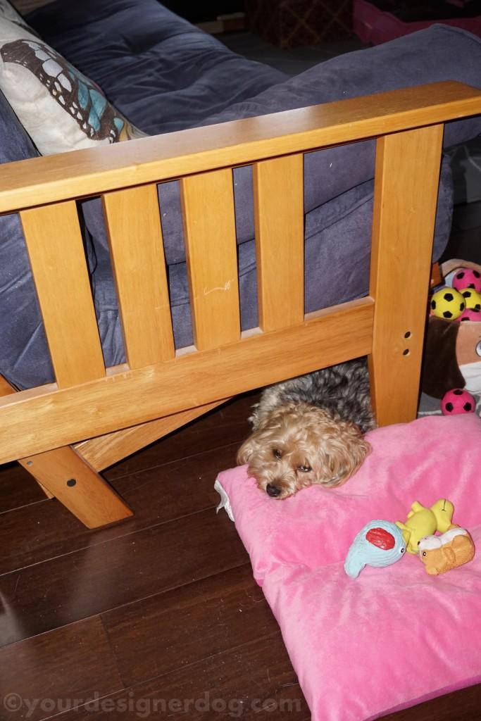dogs, designer dogs, yorkipoo, yorkie poo, hiding, futon, comfortable