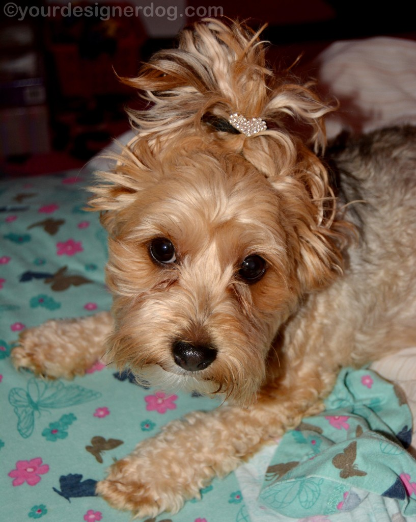 dogs, designer dogs, yorkipoo, yorkie poo, updo, hairstyle