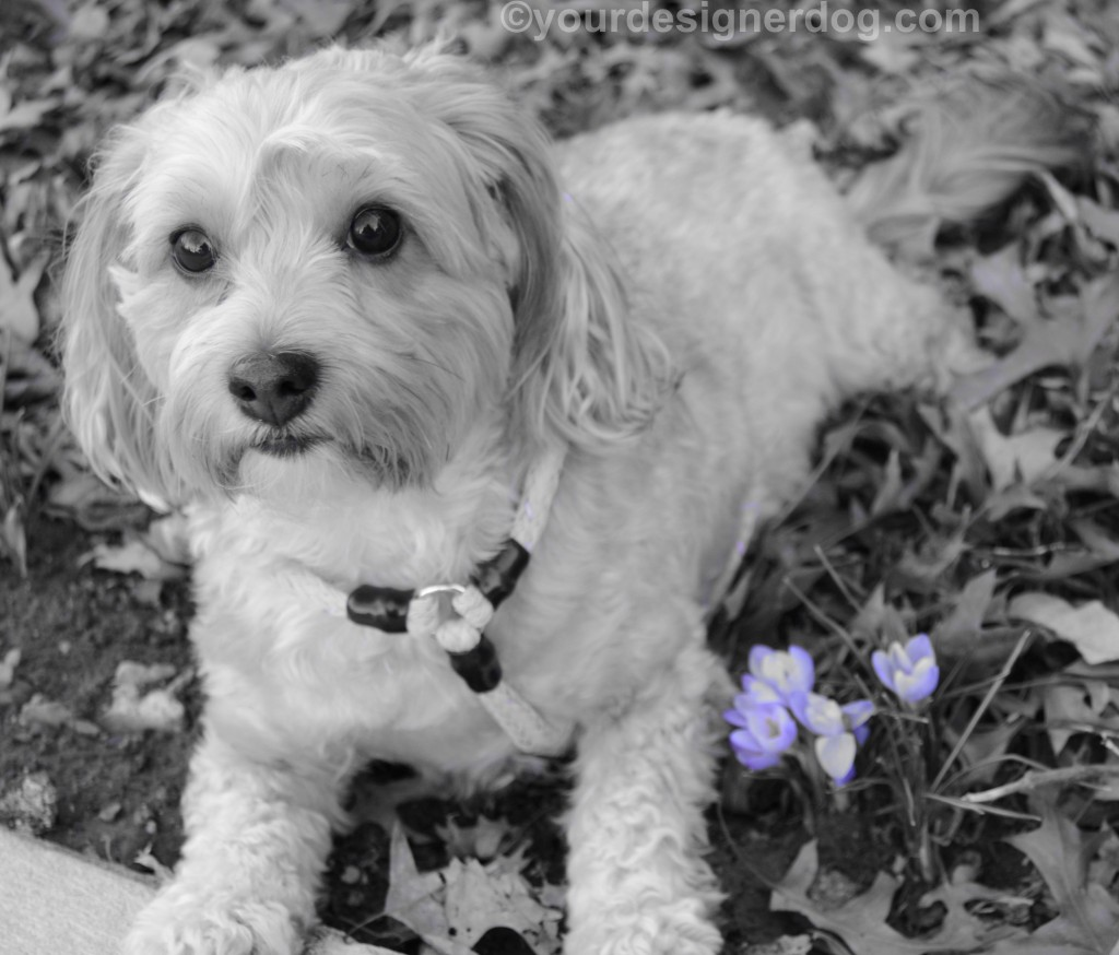 dogs, designer dogs, yorkipoo, yorkie poo, dogs with flowers, Spring, crocuses, black and white photography