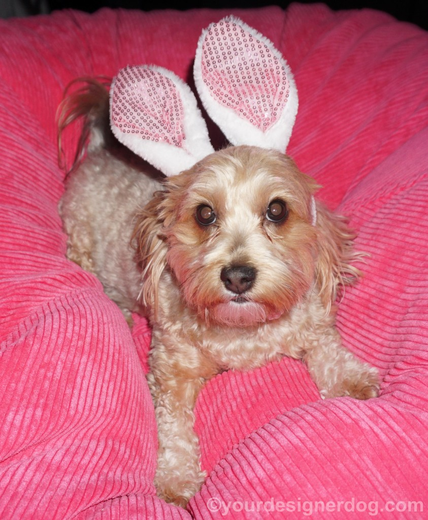 dogs, designer dogs, yorkipoo, yorkie poo, Easter, bunny ears, dog toy, squeaky ball, catch