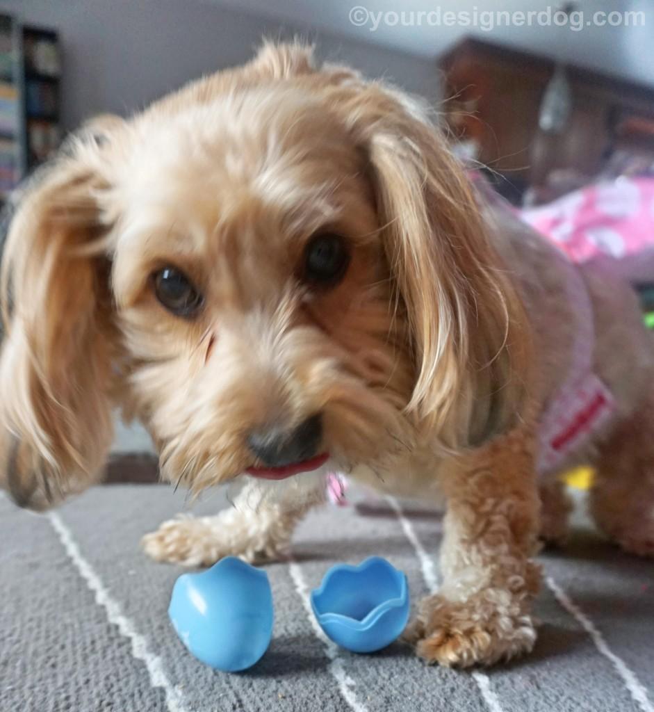 dogs, designer dogs, yorkipoo, yorkie poo, Easter, Easter egg hunt