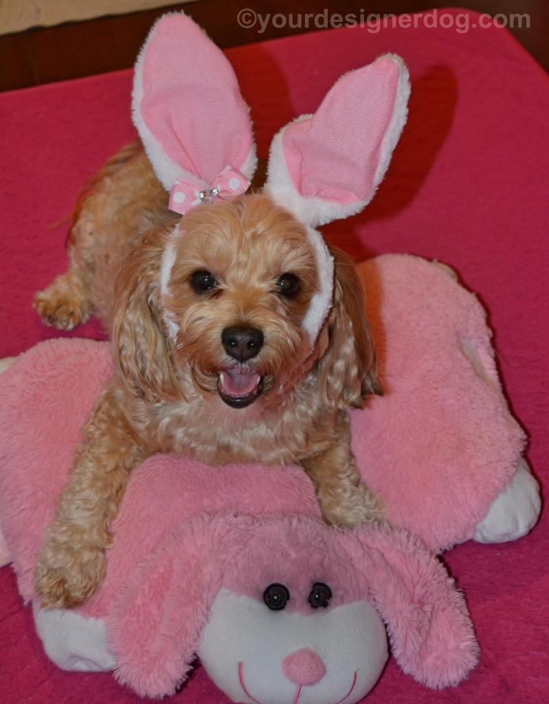 dogs, designer dogs, yorkipoo, yorkie poo, bunny, bunny ears, rabbit, tongue out, easter bunny