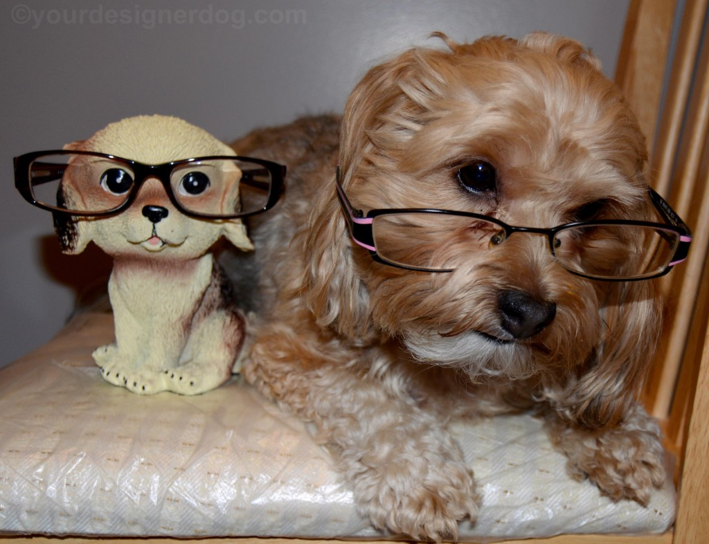 dogs, designer dogs, yorkipoo, yorkie poo, glasses, eyeglass holder, tongue out