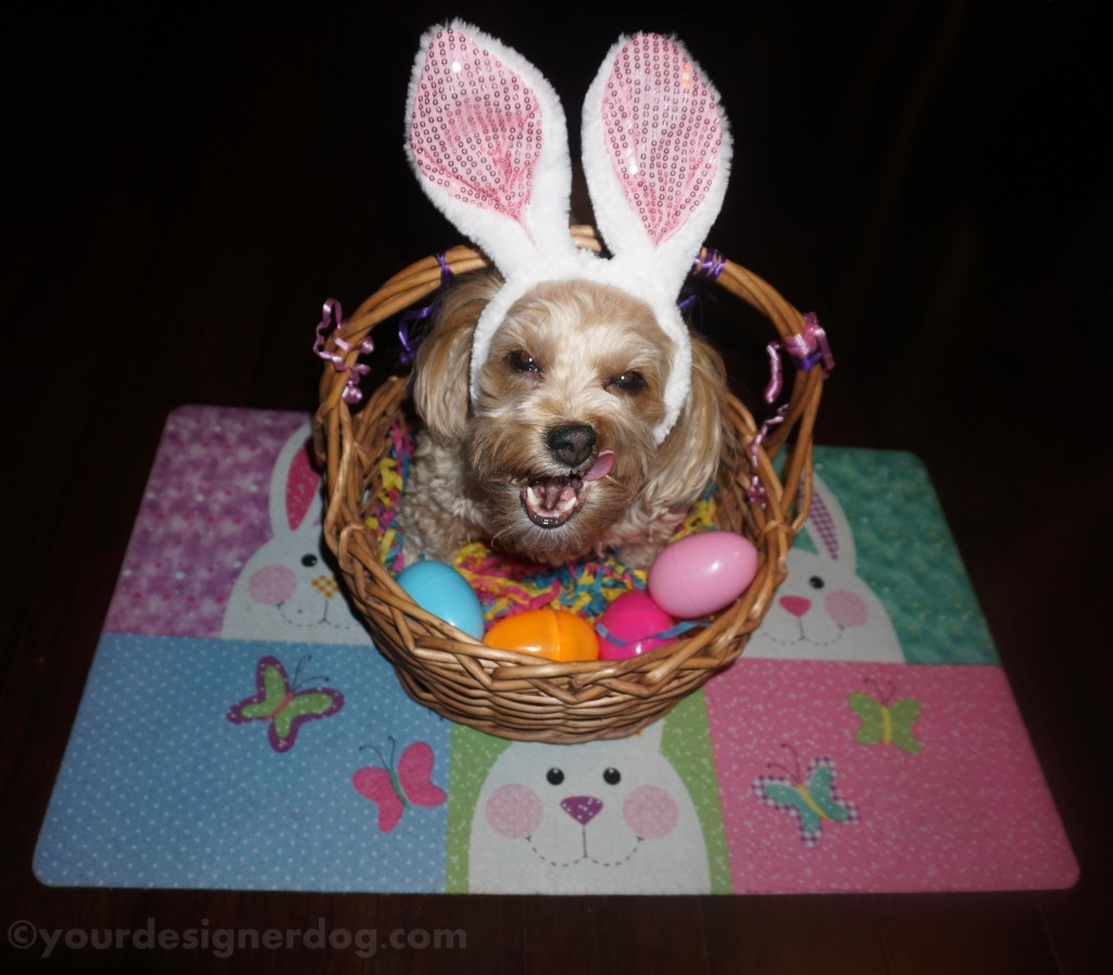 dogs, designer dogs, Yorkipoo, yorkie poo, Easter, Easter basket, Easter eggs, bunny ears, Easter bunny